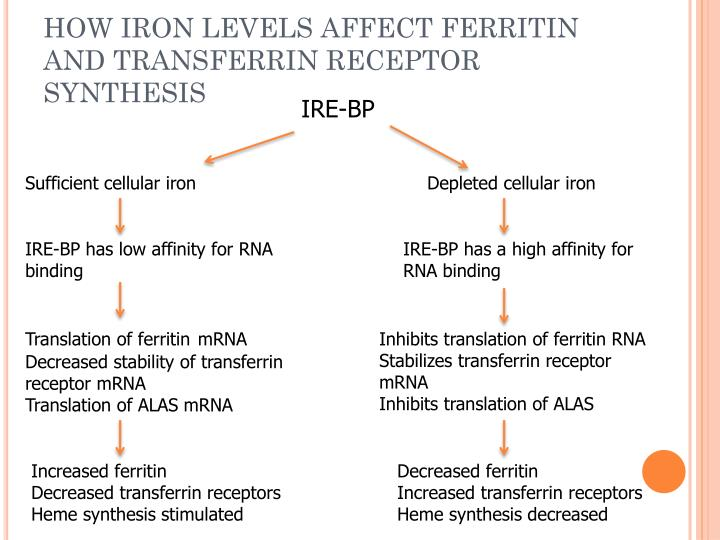 HOW IRON LEVELS AFFECT FERRITIN AND TRANSFERRIN RECEPTOR SYNTHESIS