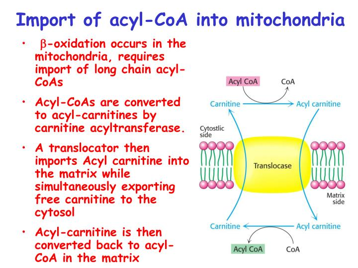 Import of acyl-CoA into mitochondria