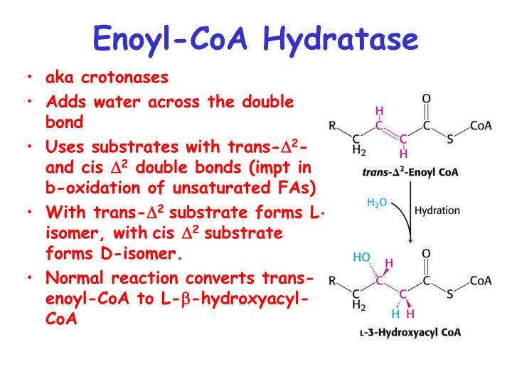 Enoyl-CoA Hydratase
