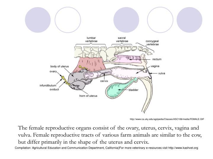 http://www.ca.uky.edu/agripedia/Classes/ASC106/media/FEMALE.GIF