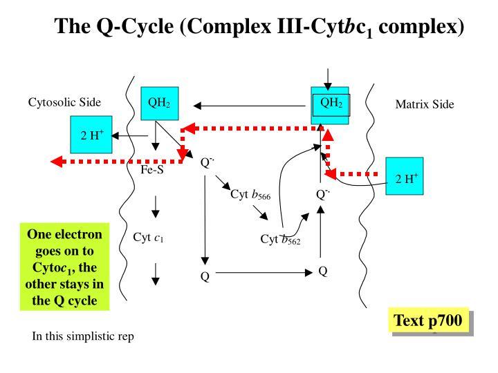 The Q-Cycle (Complex III-Cyt