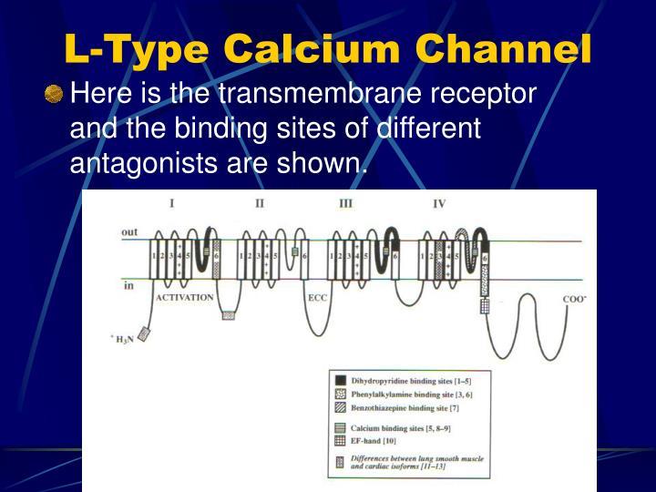 L-Type Calcium Channel