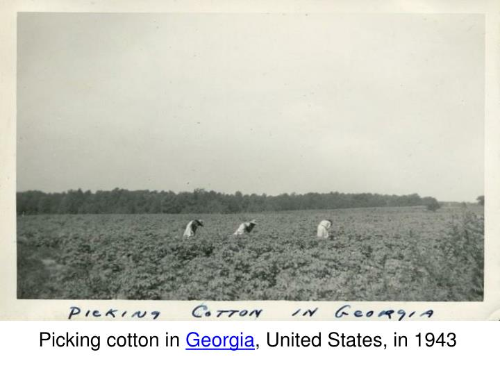 Picking cotton in