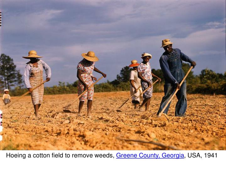 Hoeing a cotton field to remove weeds,