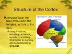 structure of the cortex2