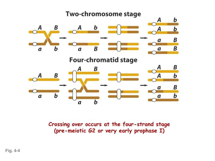 Crossing over occurs at the four-strand stage