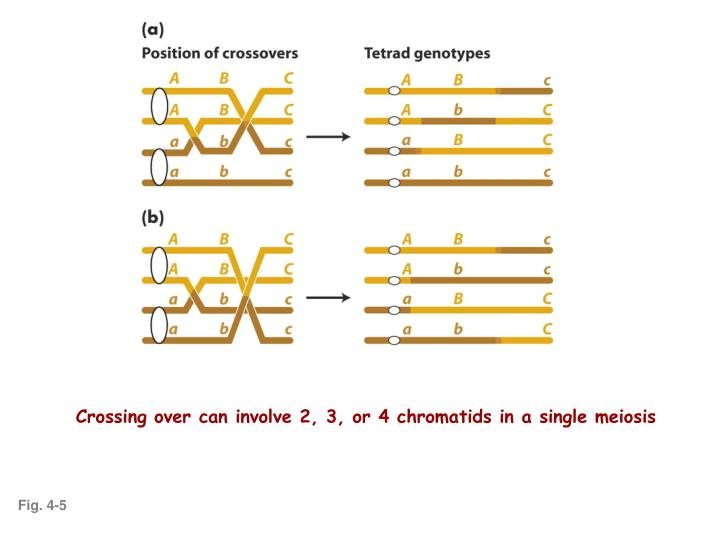 Crossing over can involve 2, 3, or 4 chromatids in a single meiosis