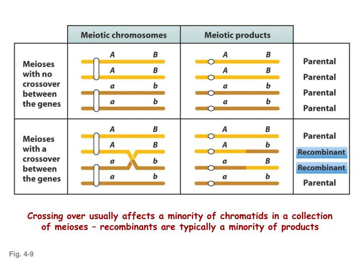 Crossing over usually affects a minority of chromatids in a collection of meioses – recombinants are typically a minority of products