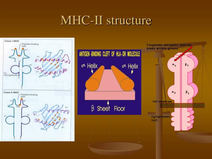 MHC-II structure