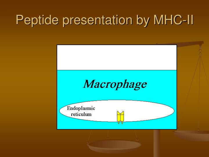 Peptide presentation by MHC-II
