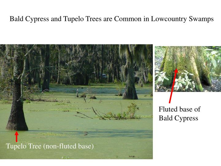 Bald Cypress and Tupelo Trees are Common in Lowcountry Swamps