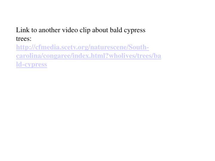 Link to another video clip about bald cypress trees: