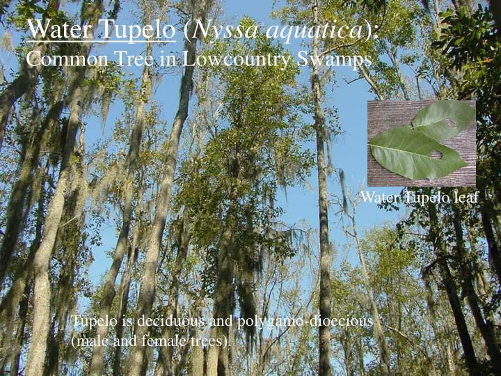 Water Tupelo