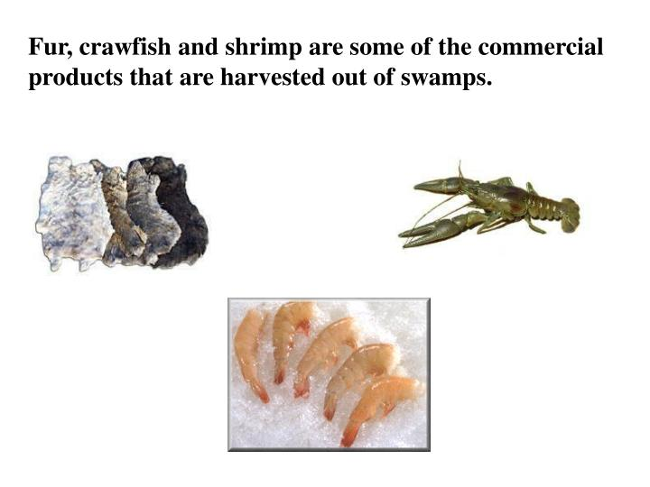 Fur, crawfish and shrimp are some of the commercial products that are harvested out of swamps.