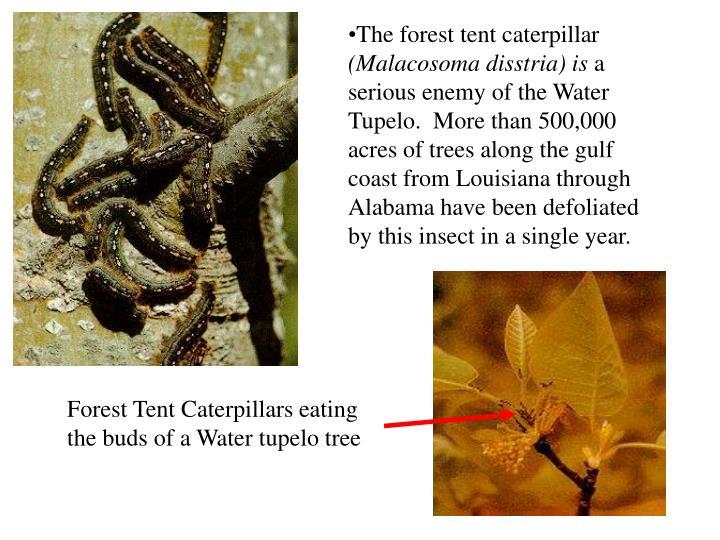 The forest tent caterpillar