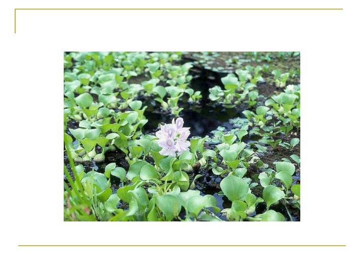 The water hyacinth