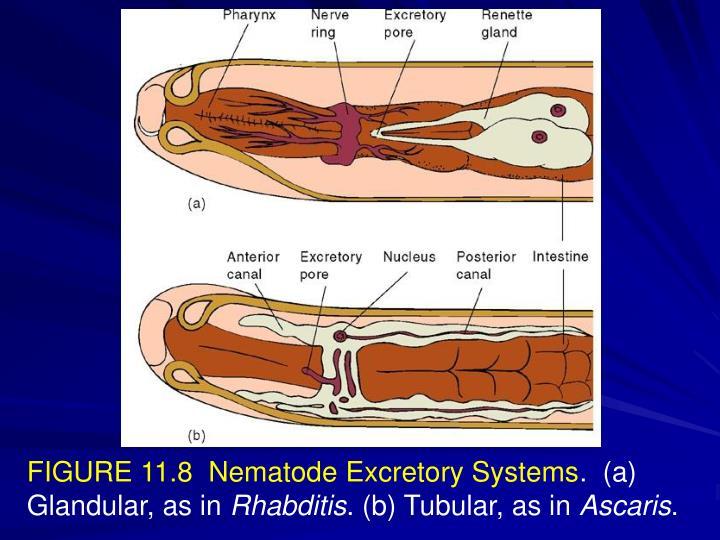 FIGURE 11.8  Nematode Excretory Systems