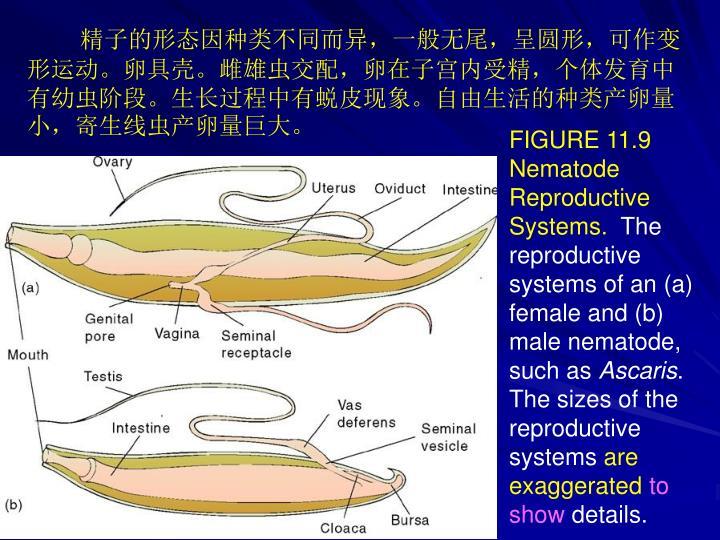 精子的形态因种类不同而异,一般无尾,呈圆形,可作变形运动。卵具壳。雌雄虫交配,卵在子宫内受精,个体发育中有幼虫阶段。生长过程中有蜕皮现象。自由生活的种类产卵量小,寄生线虫产卵量巨大。