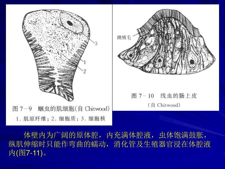 体壁内为广阔的原体腔,内充满体腔液,虫体饱满鼓胀,纵肌伸缩时只能作弯曲的蠕动,消化管及生殖器官浸在体腔液内