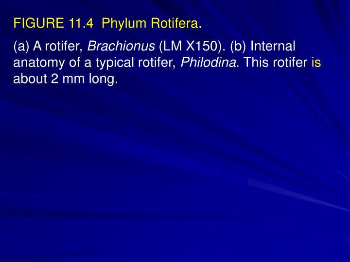 FIGURE 11.4  Phylum Rotifera