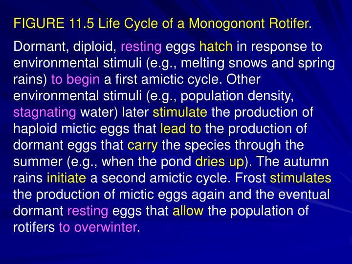 FIGURE 11.5 Life Cycle of a Monogonont Rotifer.