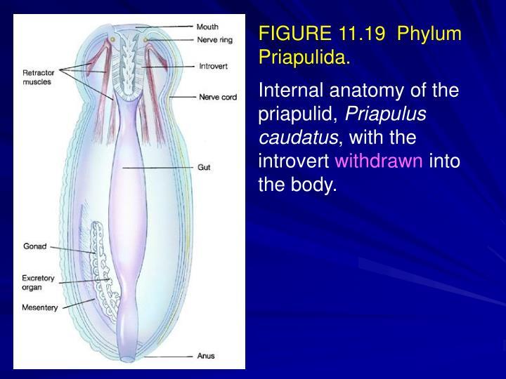 FIGURE 11.19  Phylum Priapulida.