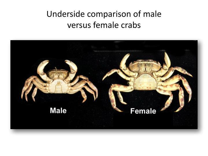 Underside comparison of male versus female crabs
