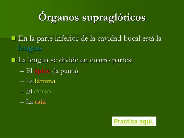 Órganos supraglóticos