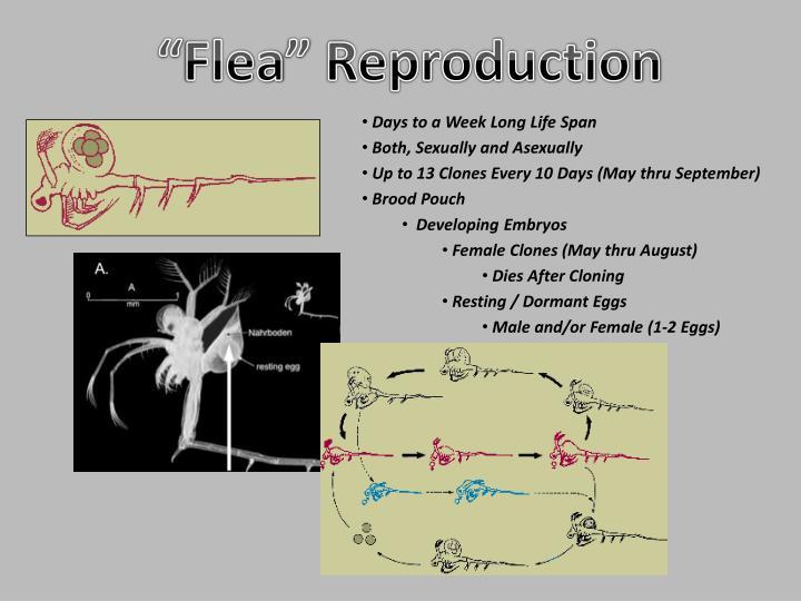 """Flea"" Reproduction"