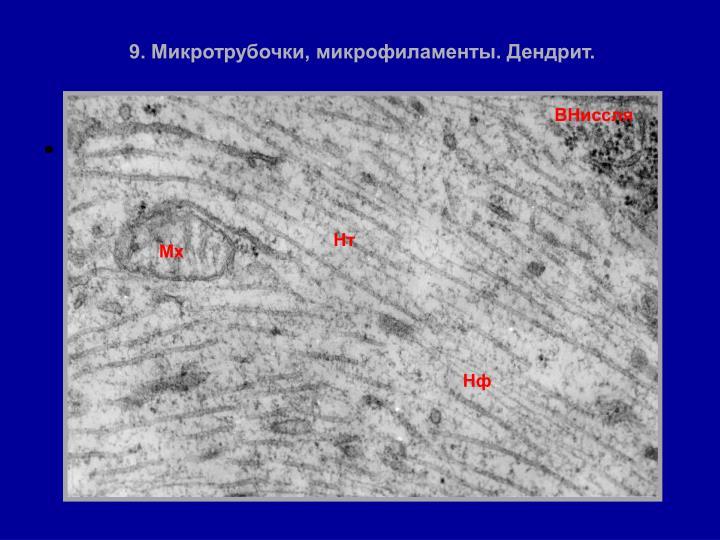 9. Микротрубочки, микрофиламенты. Дендрит.