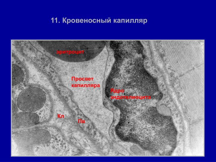 11. Кровеносный капилляр
