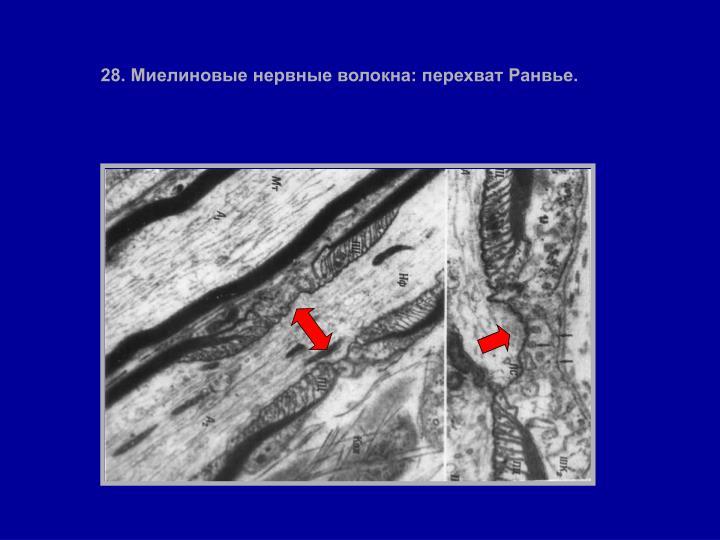 28. Миелиновые нервные волокна: перехват Ранвье.