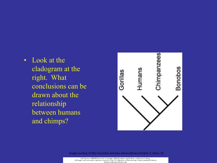 Look at the cladogram at the right.  What conclusions can be drawn about the relationship between humans and chimps?