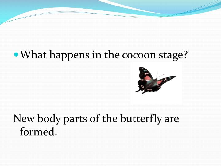 What happens in the cocoon stage?