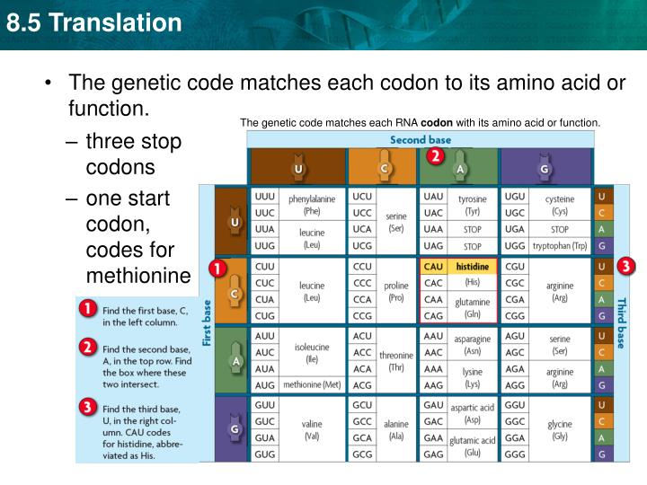 The genetic code matches each RNA