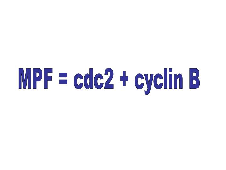 MPF = cdc2 + cyclin B