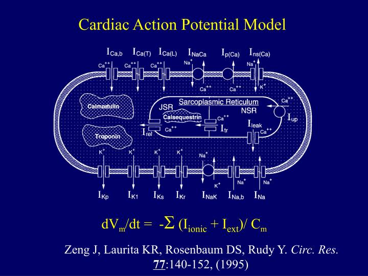 Cardiac Action Potential Model