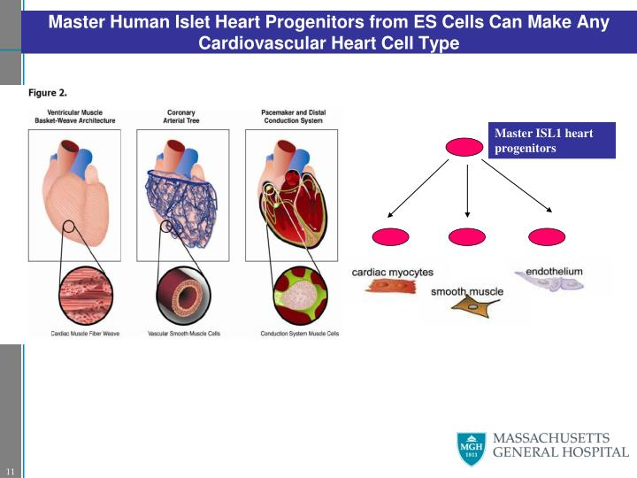 Master Human Islet Heart Progenitors from ES Cells Can Make Any Cardiovascular Heart Cell Type
