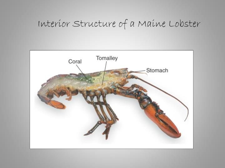 Interior Structure of a Maine Lobster