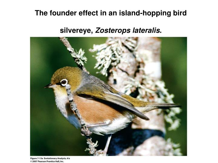 The founder effect in an island-hopping bird