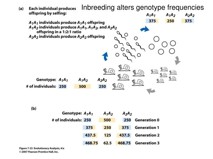 Inbreeding alters genotype frequencies