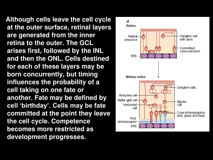 Although cells leave the cell cycle at the outer surface, retinal layers are generated from the inner retina to the outer. The GCL arises first, followed by the INL and then the ONL. Cells destined for each of these layers may be born concurrently, but timing influences the probability of a cell taking on one fate or another. Fate may be defined by cell 'birthday'. Cells may be fate committed at the point they leave the cell cycle. Competence becomes more restricted as development progresses.