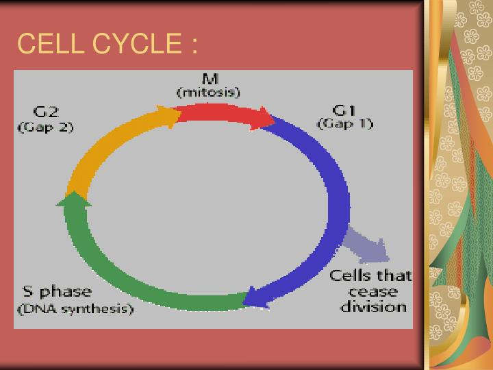 CELL CYCLE :