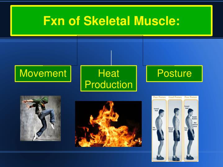Fxn of skeletal muscle