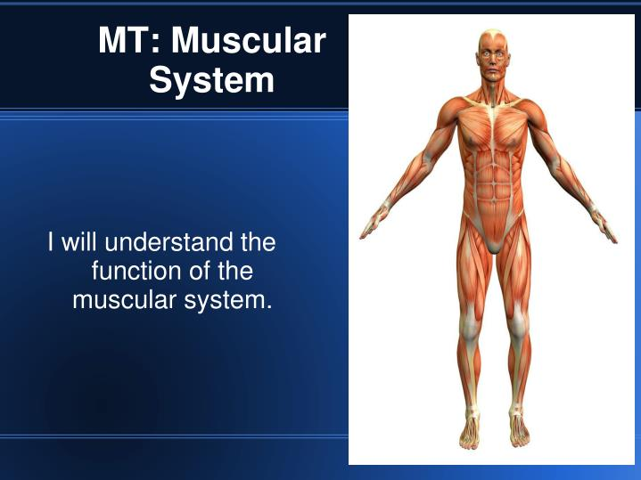 I will understand the function of the muscular system