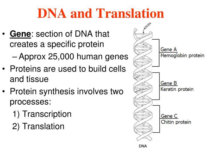 Dna and translation