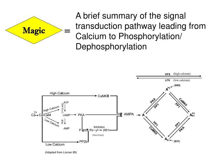 A brief summary of the signal transduction pathway leading from Calcium to Phosphorylation/ Dephosphorylation