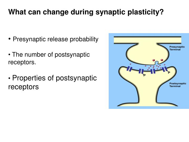 What can change during synaptic plasticity?