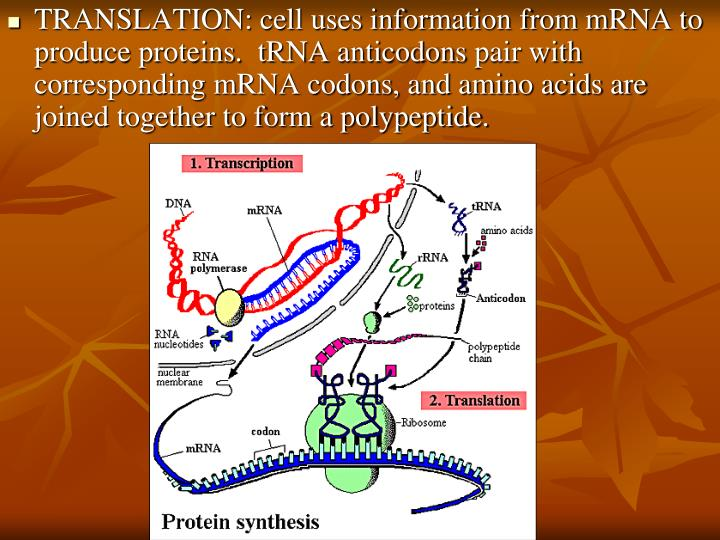 TRANSLATION: cell uses information from mRNA to produce proteins.  tRNA