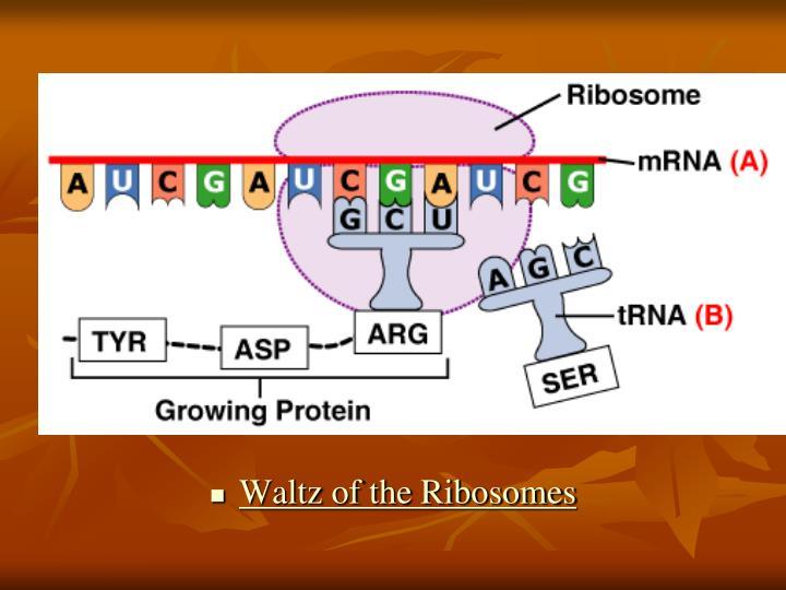 Waltz of the Ribosomes